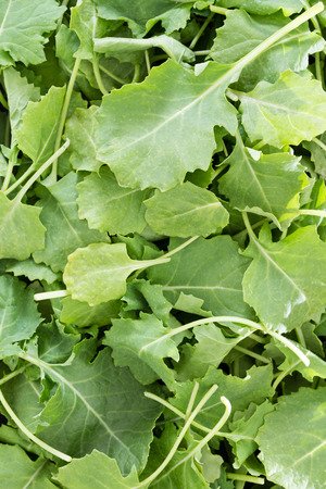 drained: Background texture of fresh green baby kale leaves that have been washed and drained ready for use in a salad