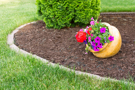 tilted: Colorful flowers with purple petunias and red geraniums growing in a tilted flowerpot in a landscaped garden with formal beds and an evergreen arborvitae alongside in a neat green lawn