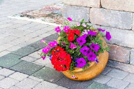 petunias: Ornamental display of colorful flowers in a tilted terracotta flowerpot standing at te edge of a building on a brick paved patio with red geraniums and purple petunias