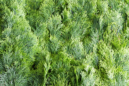 Arborvitae leaves background with a closely packed layer of evergreen fronds or foliage from the Thuja tree, a popular ornamental Arborvitae grown in many gardens photo