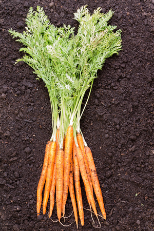 fertile: Freshly harvested bunch of young carrots with their green leafy tops lying on a background layer of rich fertile soil
