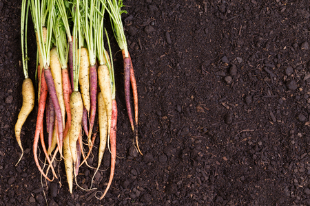 fertile: Healthy bunch of multicolored carrots with green stalks freshly harvested and laid on rich fertile soil with copy space in a conceptual image