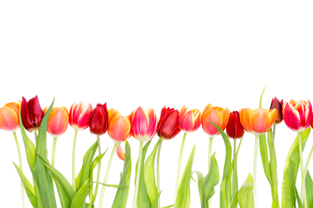 Isolated border on white with copy space of fresh red and orange spring tulips with green leaves