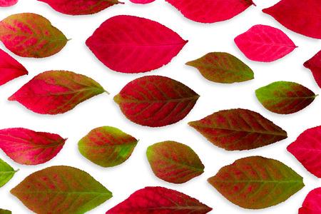 Closeup Colorful Burning Bush Autumn Leaves Isolated on White