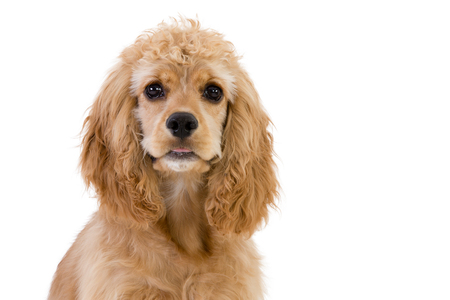 Close-up of a brown cute cocker spaniel looking at camera with curiosity against white for copy space Stock Photo