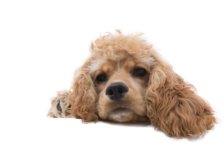 Close-up studio shot of the head of a cute golden cocker spaniel dog daydreaming while lying down against white background for copy space