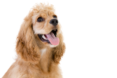 Close-up studio shot of a cute golden cocker spaniel dog looking up against white background with copy space Stock Photo