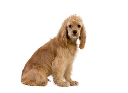 Portrait of cocker spaniel dog sitting against white background