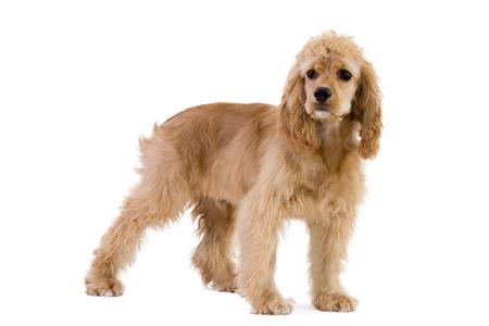 Portrait of cocker spaniel dog standing against white background