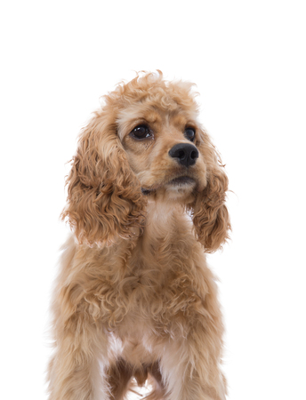 Close up partial frontal portrait of a golden cocker spaniel puppy posing looking to the side isolated on white in a low angle view