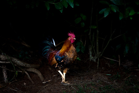 A single free range rooster with red wattle strutting through woodland in the darkness in Hawaii in a low angle view with copy space Standard-Bild