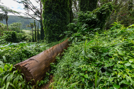 Felled tree trunk in lush green tropical vegetation in the Manoa Valley, Oahu, Hawaii, USA in a close up low angle view