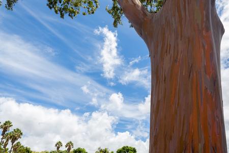 Tronco de un árbol de Eucalyptus deglupta en Oahu, Hawaii que muestra el peeling típico de la corteza que revela la madera verde debajo de la cual cambia los tonos a través de una gama de colores, también conocida como la goma del arco iris Foto de archivo - 92228330