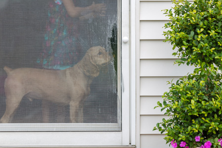 Golden cocker spaniel eyeing a damaged screen door opening onto an exterior patio standing inside sniffing the ripped wire mesh Banco de Imagens
