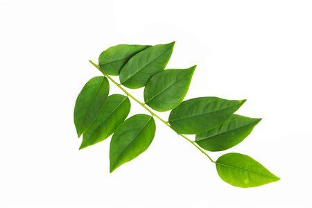 gooseberry: hojas de grosella