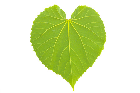 heart leaf shaped on white background Stock Photo