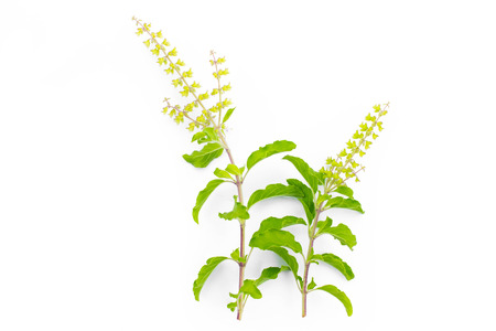 tulasi: Ocimum ,sweet basil on white background