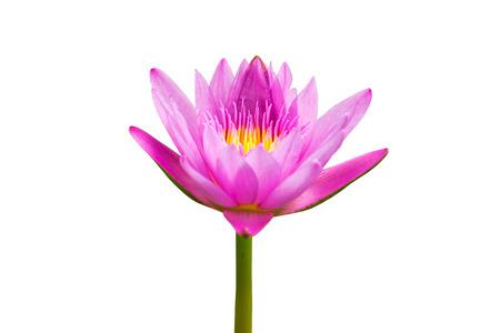 Belle eau Lotus.Purple lilly isolé sur blanc background.This a chemin de détourage. Banque d'images - 46243552