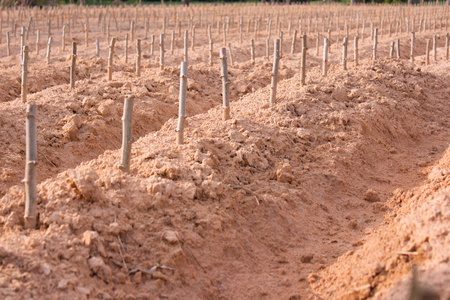 start cultivation Cassava or manioc plant field at Thailand Stock Photo