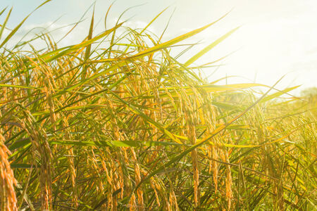 Rice fields awaiting harvest in upcountry, Thailand(Asia, Thailand, Upcountry)