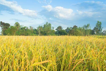 awaiting: Rice fields awaiting harvestAsia, Thailand, Upcountry