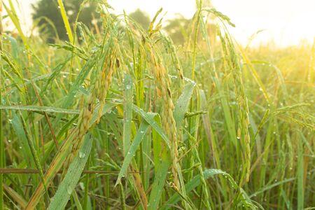 Rice fields awaiting harvestAsia, Thailand, Upcountry