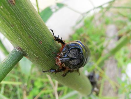 long horn beetle: Female beetle has a short horn and male beetle has a long horn Stock Photo