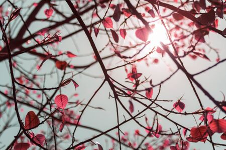 The leaves pink color of the Bodhi Tree in the summertime with the sunlight in midday. Фото со стока