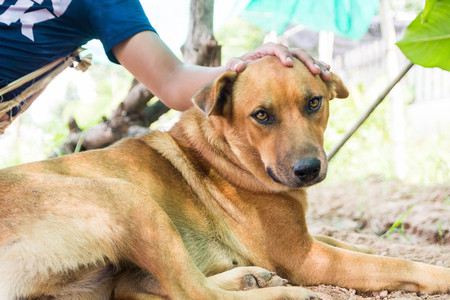 Thailand folk dog, this one is brown, healthy and friendly to people close, but if strangers come, he was barking to intimidate immediately.