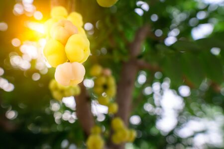Yellow gooseberry is a fruit that has two types, Which each type has a sweet and sour taste and this is a sour species.