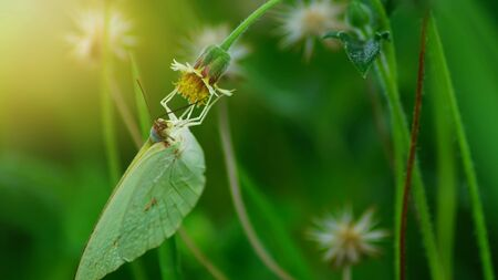 Green butterfly are finding for nectar from flowers with sunset in evening.