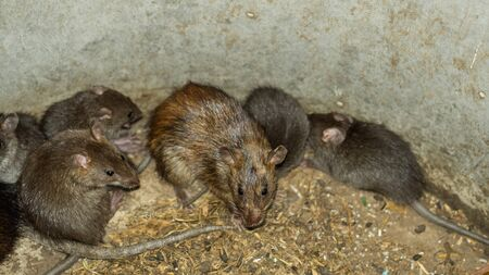 Wild or field rats is the language that Thailand people call Which be used to make food, And now this type of rat is difficult to find, People therefore to spread a breed this type is a career.