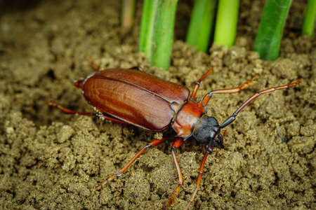 This is a titan beetle or beetle titanium or Longhorned Beetles, The beetle that destroys the cane root of the farmer in thailand, But it can be eaten as food.