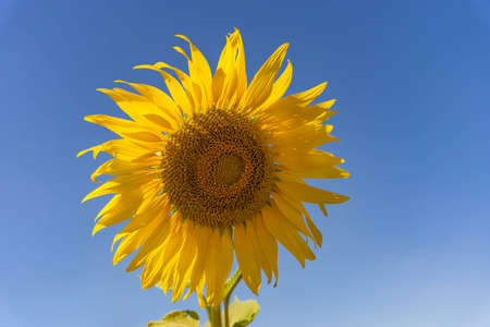 field of blooming yellow sunflowers in the summer season in sunflowers farm and other flowers. Banque d'images