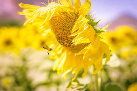 field of blooming yellow sunflowers in the summer season in sunflowers farm and other flowers. Imagens