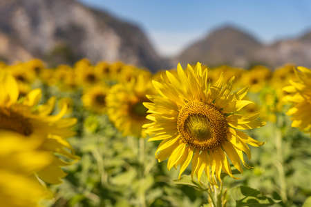 field of blooming yellow sunflowers in the summer season in sunflowers farm and other flowers with a mountain in backgrounds.