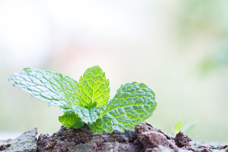 mint leaves: Growing mint leaves