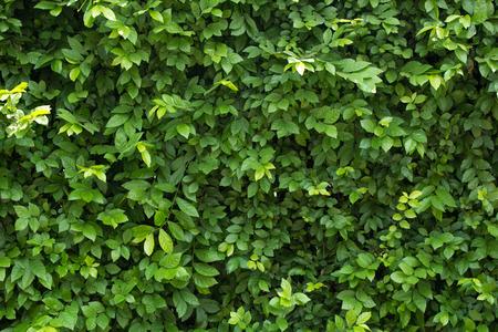 Groene bladeren voor achtergrond Stockfoto