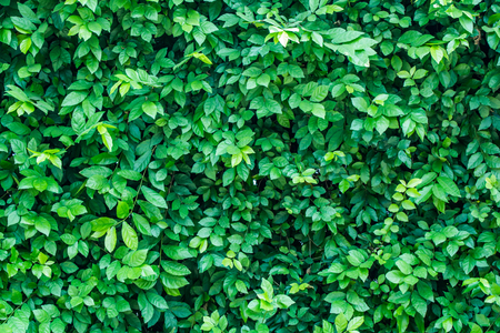 fairly: Green leaves background  or the naturally walls texture Ideal for use in the design fairly.
