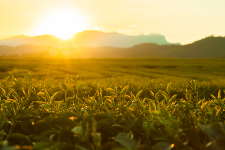 Morning sunrise in the tea farm Green tea leaves are ready to harvest.Golden light on the top of the tea leaves. Expressing warmth And mountainous atmosphere. Stock Photo