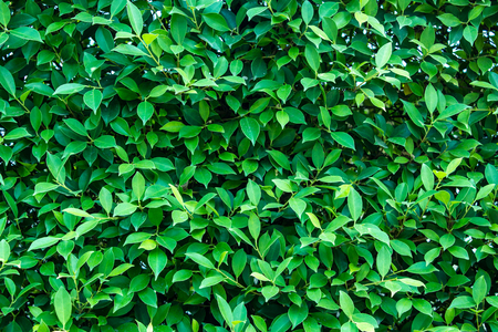 fairly: Green leaves wall background  or the naturally walls texture Ideal for use in the design fairly.