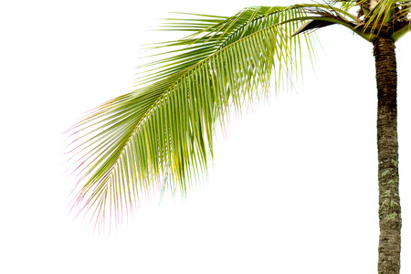 Green coconut leaves separated from a white background clearly. In order to design a montage about the summer