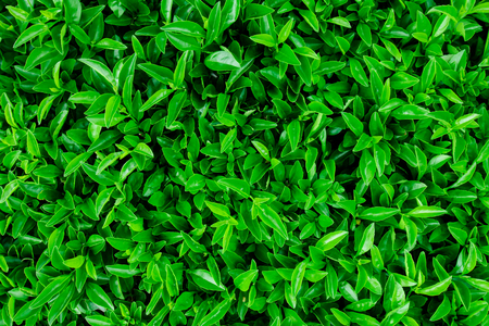 fairly: Green leaves wall background Ideal for use in the design fairly. Stock Photo
