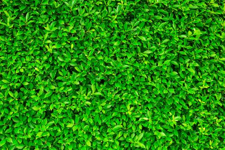 緑の葉の背景または自然壁テクスチャの理想的な設計で使用するためかなり。