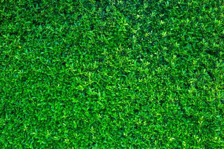 緑の葉の背景または自然壁テクスチャの理想的な設計で使用するためかなり。 写真素材 - 83755784