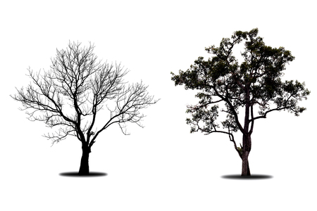 Dry tree died dead isolated on white background. Stock Photo