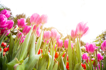 Nature  Tulip flower Background Summer Easter is when the flowers are blooming behind the house, the flowers are also one of the flowers that bloom in the summer.
