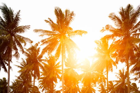 Green coconut leaves separated. golden light shines in the morning after sunrise. See the beautiful trees arranged in order. In order to design montage about the summer. Stock Photo