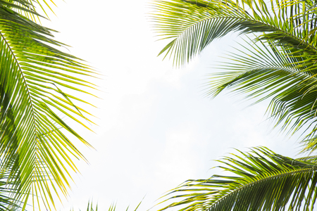 Green coconut leaves tree separated on blue sky background clearly. In order to design a montage about the summer.