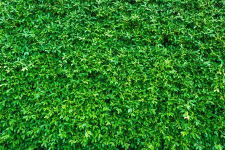 Groene bladerenachtergrond of de natuurlijke murentextuur Ideaal voor eerlijk gebruik in het ontwerp.